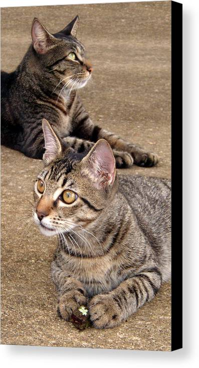 Tabby Canvas Print featuring the photograph Two Tabby Cats by Nicole I Hamilton
