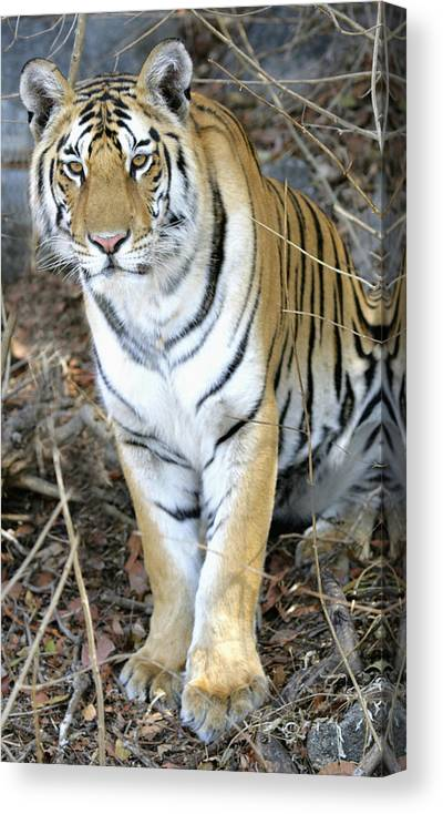 Wildlife Canvas Print featuring the photograph Bengal Tiger In Pench National Park by Axiom Photographic