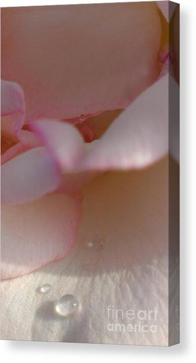 Rose Canvas Print featuring the photograph Morning Dew Drops by LKB Art and Photography