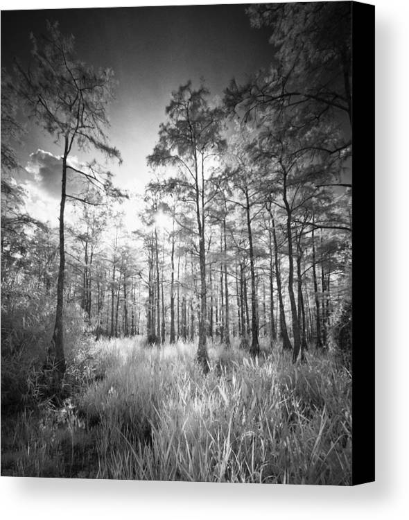 Big Canvas Print featuring the photograph Cypress Trees In Big Cypress by Bradley R Youngberg