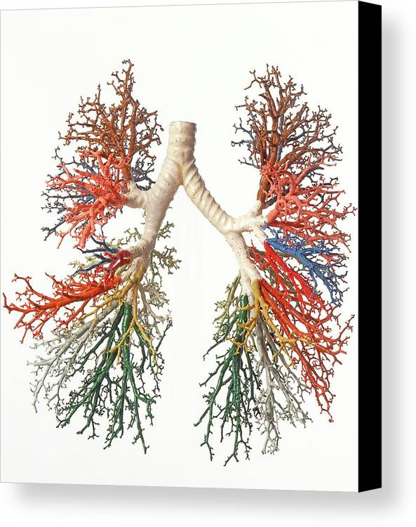 Model Of Branches Of Bronchial Tree Canvas Print / Canvas Art by ...