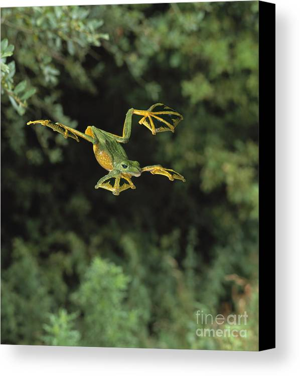 Animal Canvas Print featuring the photograph Wallaces Flying Frog by Stephen Dalton
