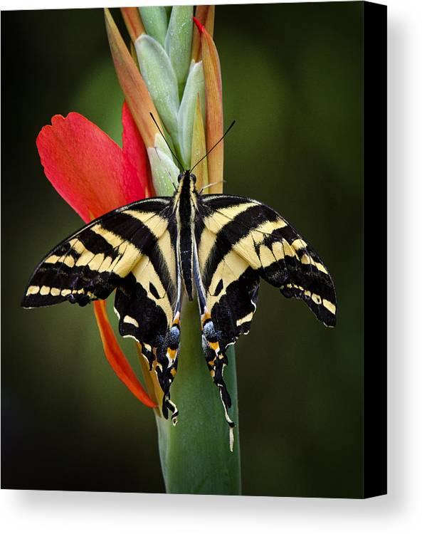 Swallowtail Butterfly Canvas Print featuring the photograph Yellow Swallowtail Butterfly by Saija Lehtonen