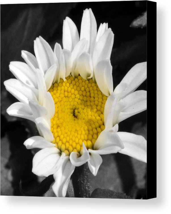 White & Yellow Daisy Canvas Print featuring the photograph Centered by Tanya Tanski