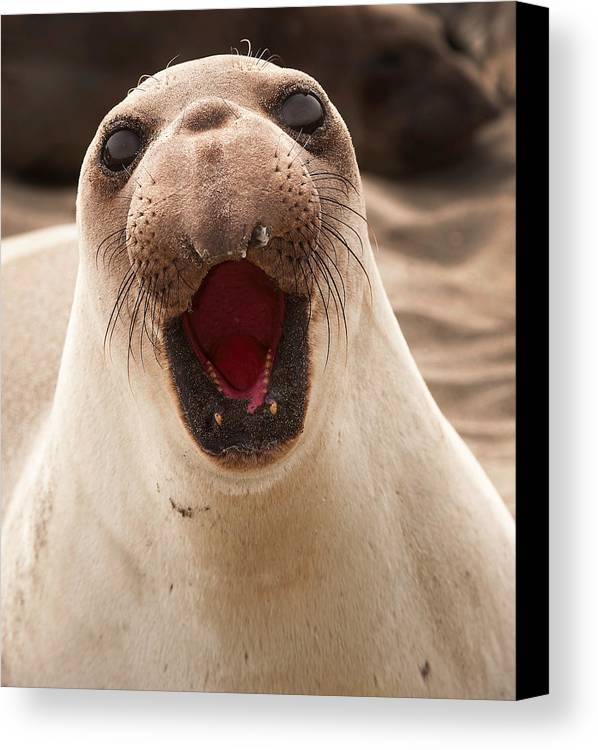 Northern Elephant Seal Canvas Print featuring the photograph Female Northern Elephant Seal Mirounga Angustirostris by Eyal Nahmias