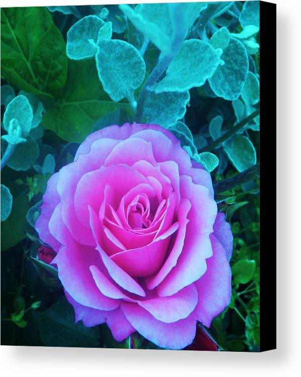Rose Canvas Print featuring the photograph Rose Petal Perfection by Daniele Smith