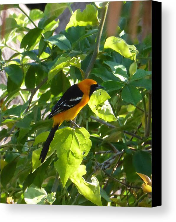 Bird Canvas Print featuring the photograph Orange Bird by Pamela Campbell