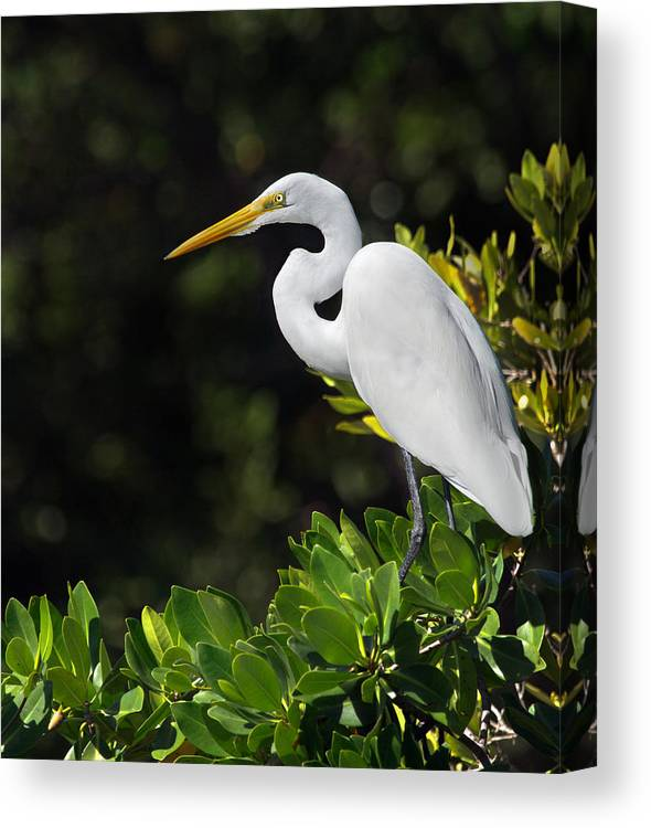 Great Egret Canvas Print featuring the photograph Great Egret In The Florida Everglades by Mr Bennett Kent
