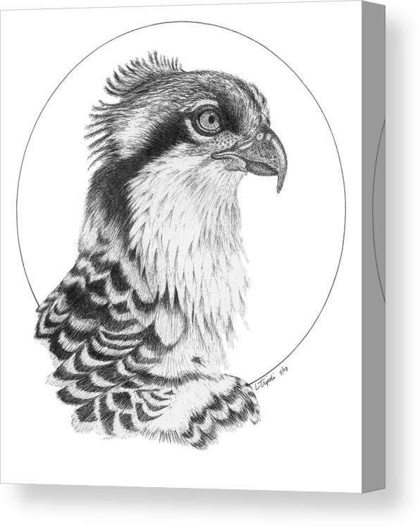 Wildlife Canvas Print featuring the drawing Osprey by Lawrence Tripoli