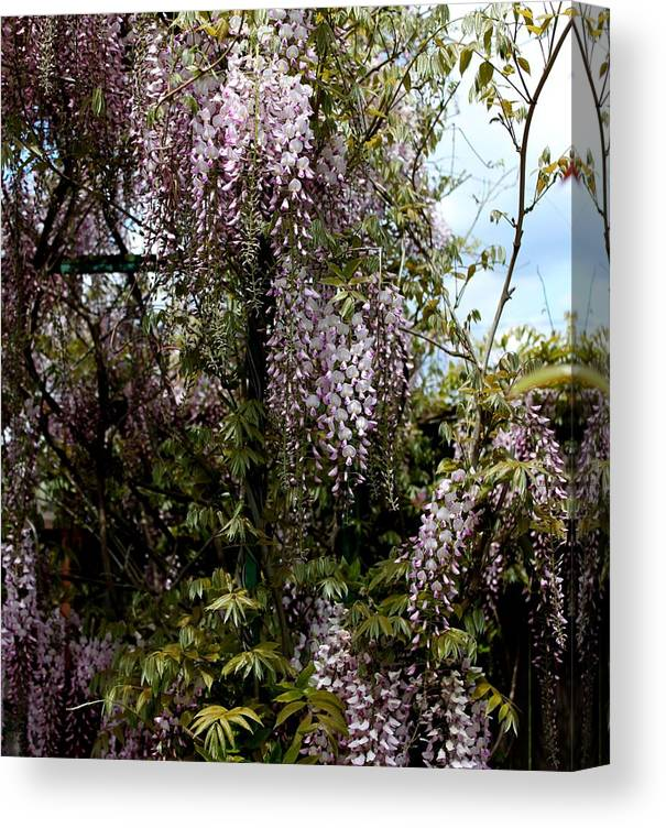 Wisteria Canvas Print featuring the photograph Wisteria by Erica Hanel