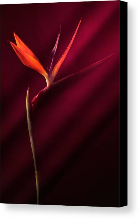 Bird Of Paradise Canvas Print featuring the photograph Bird Of Paradise 1 by Joseph Gerges