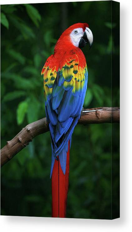 Tropical Rainforest Canvas Print featuring the photograph Scarlet Macaw by Thepalmer