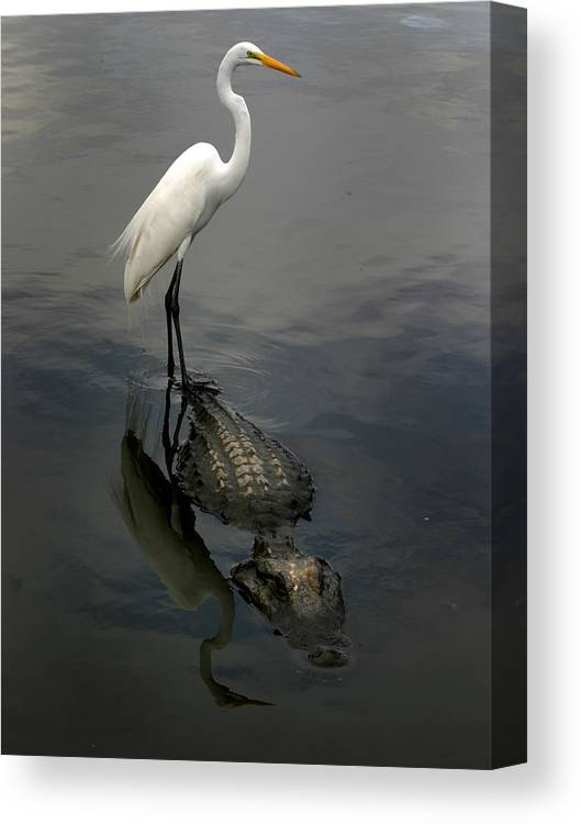 Alligator Canvas Print featuring the photograph Hitch Hiker by Anthony Jones