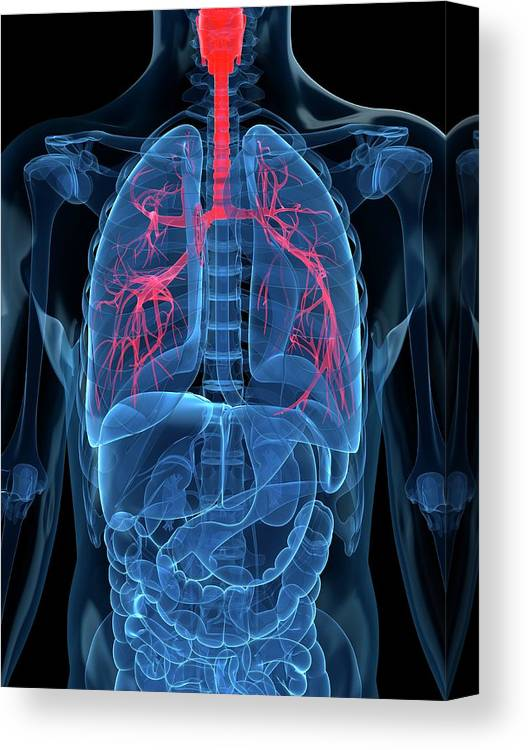 Human Lung Canvas Print featuring the digital art Human Lungs, Artwork by Sciepro