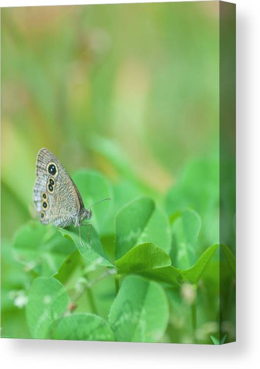 Insect Canvas Print featuring the photograph Argus Rings Butterfly by Polotan