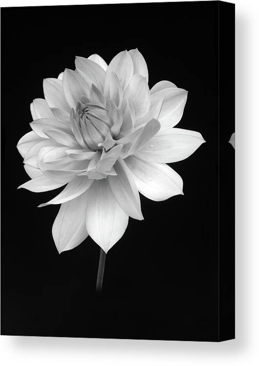 Haslemere Canvas Print featuring the photograph Dahlia In Gentle Shades Of Grey by Rosemary Calvert