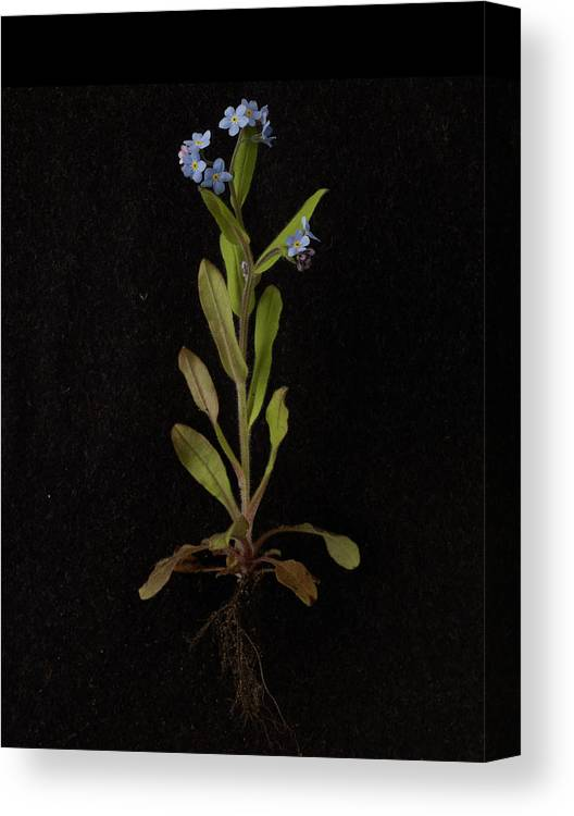 Black Background Canvas Print featuring the photograph Forget-me-not Plant On Black Background by William Turner
