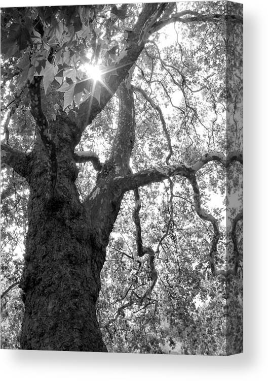 Plane Tree Canvas Print featuring the photograph London Plane by Sarah-jane Laubscher