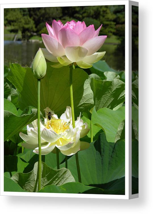 Lotus Canvas Print featuring the photograph Lotus in Bloom by John Lautermilch