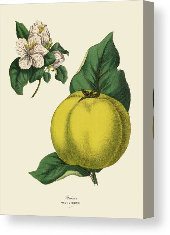 1880-1889 Canvas Print featuring the digital art Quince Fruit Tree, Victorian Botanical by Bauhaus1000