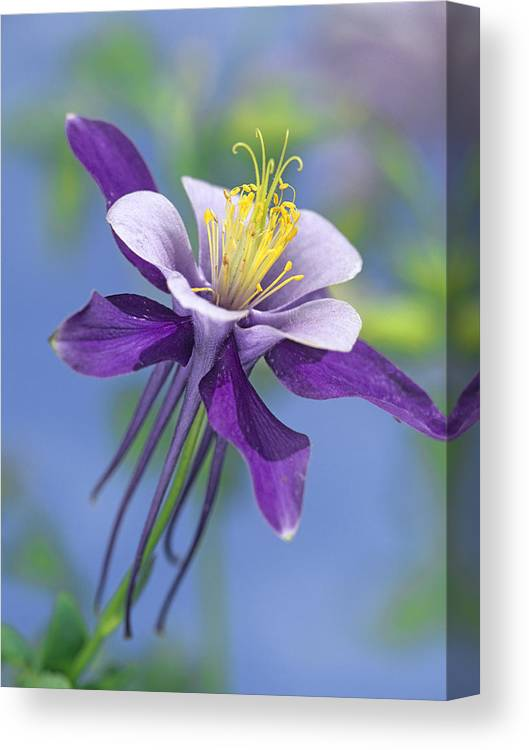 00176669 Canvas Print featuring the photograph Colorado Blue Columbine Close by Tim Fitzharris