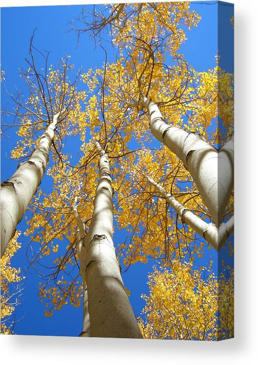 Trees Canvas Print featuring the photograph Blue and Gold by Brian Anderson