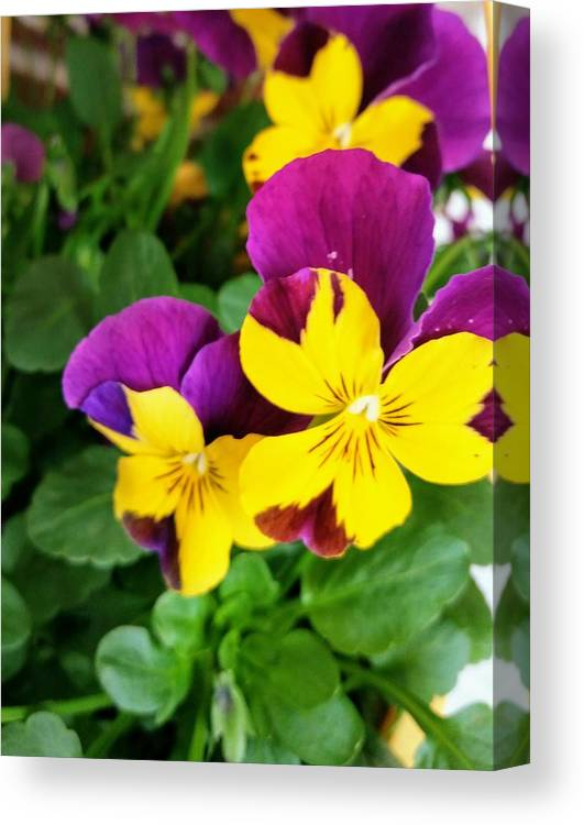 Pansies Canvas Print featuring the photograph Pansies 2 by Valerie Josi