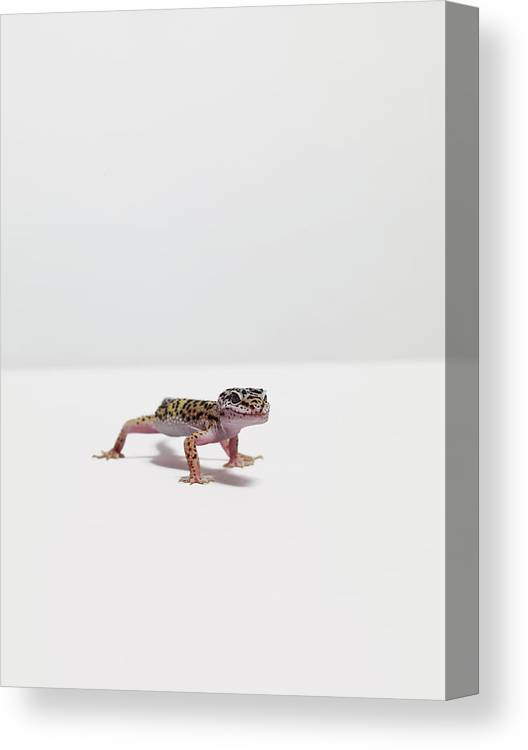 White Background Canvas Print featuring the photograph Leopard Gecko by Dan Burn-forti
