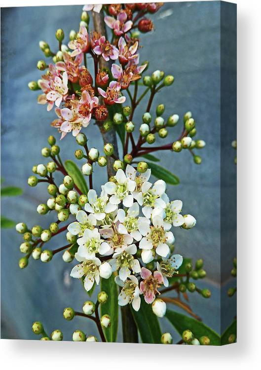 Bud Canvas Print featuring the photograph Little Star Like Buds by Steve Taylor Photography