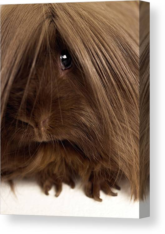 Pets Canvas Print featuring the photograph Long Haired Guinea Pig, Close-up by Michael Blann