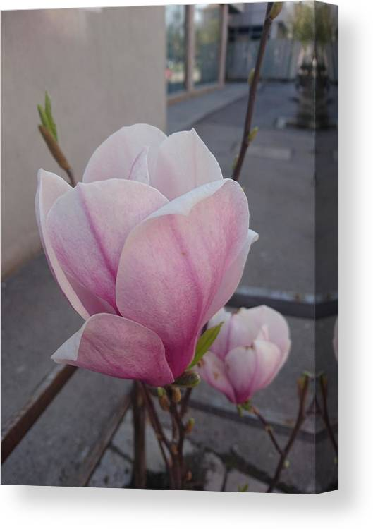 Canvas Print featuring the photograph Magnolia by Anzhelina Georgieva