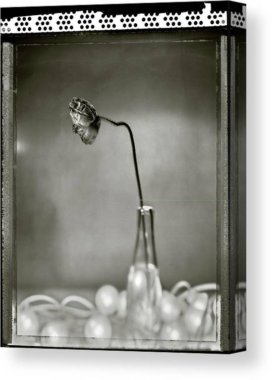 Fragility Canvas Print featuring the photograph Poppy - Just Opened by T Scott Carlisle