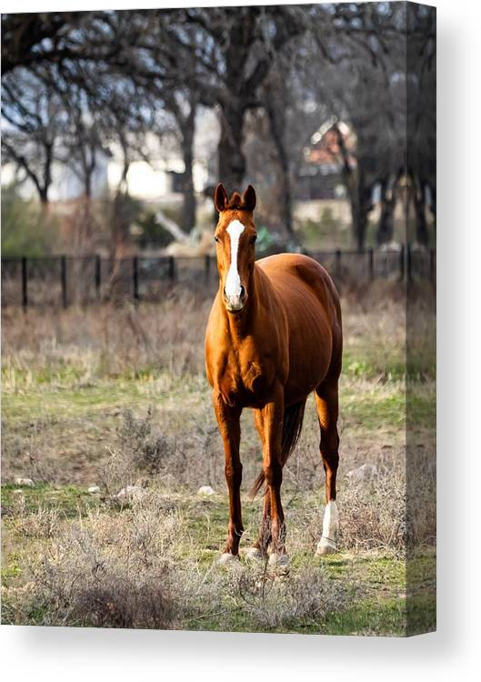 Horse Canvas Print featuring the photograph Bay Horse 3 by C Winslow Shafer