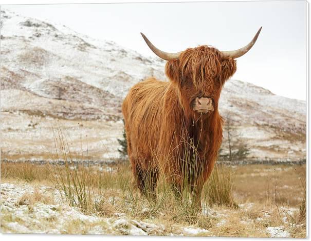 Highland Cow by Grant Glendinning
