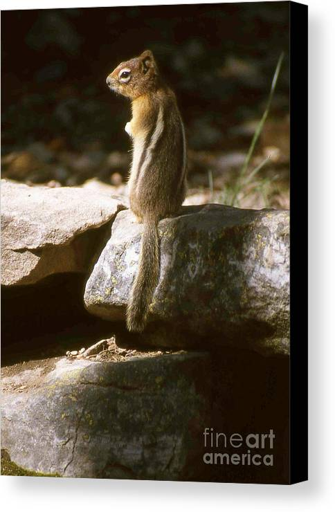 Wildlife Canvas Print featuring the photograph Inquisitive By Nature by Alex Cassels
