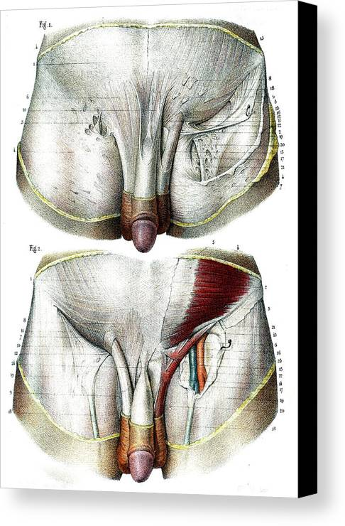 Male Groin Anatomy Canvas Print Canvas Art By Collection Abecasis