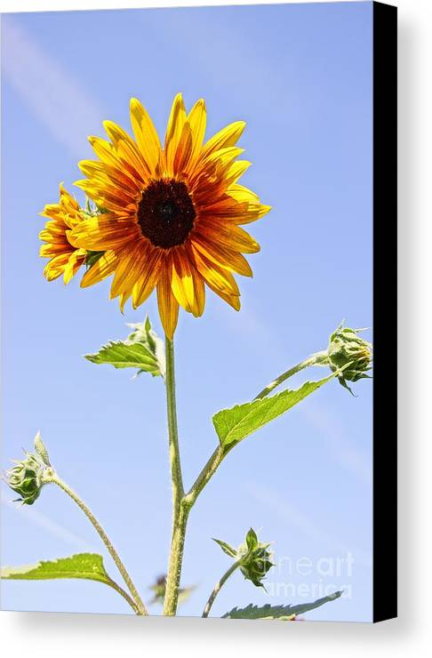 Agriculture Canvas Print featuring the photograph Sunflower In The Sky by Kerri Mortenson