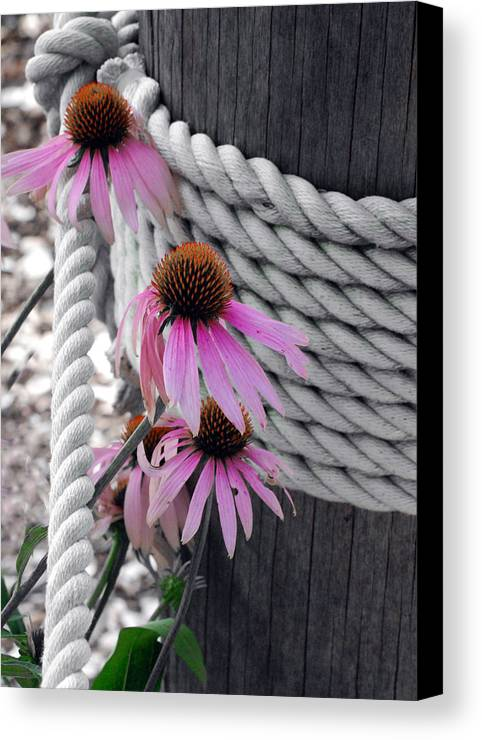 Coneflower Canvas Print featuring the photograph Coneflowers by Mark Wiley