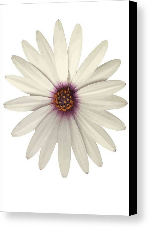 Osteospermum Canvas Print featuring the photograph African Daisy With White Petals by Taiche Acrylic Art