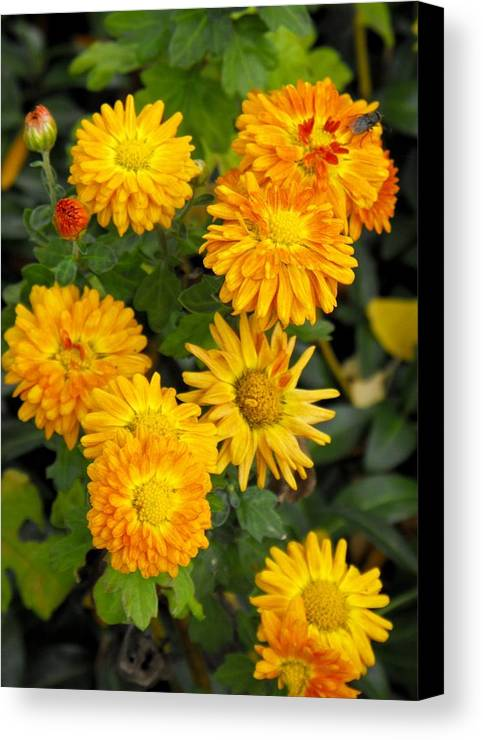 Marigolds Flowers Spring Garden Canvas Print featuring the photograph Merry Marigolds by Mindy Roth