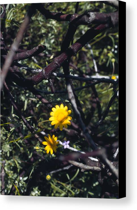 Flower Canvas Print featuring the photograph The Prisoner by Randy Oberg