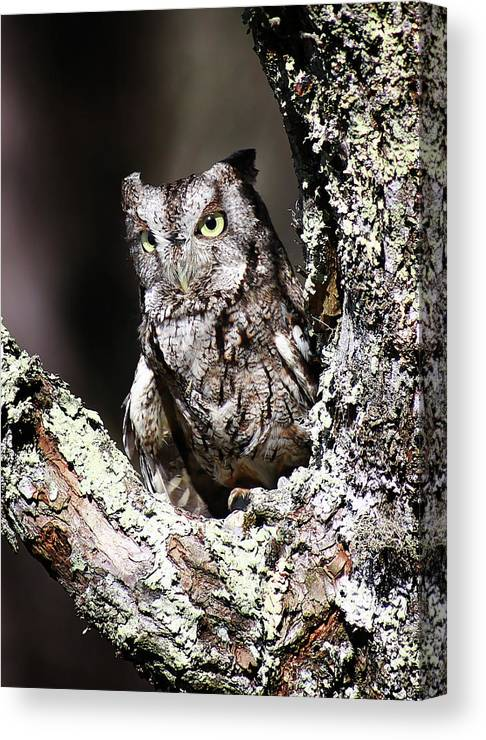 Screech Owl Canvas Print featuring the photograph Screech Owl by SC Shank