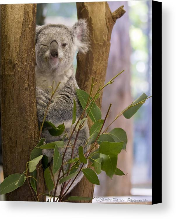 Koala Canvas Print featuring the photograph Wink by Charles Warren
