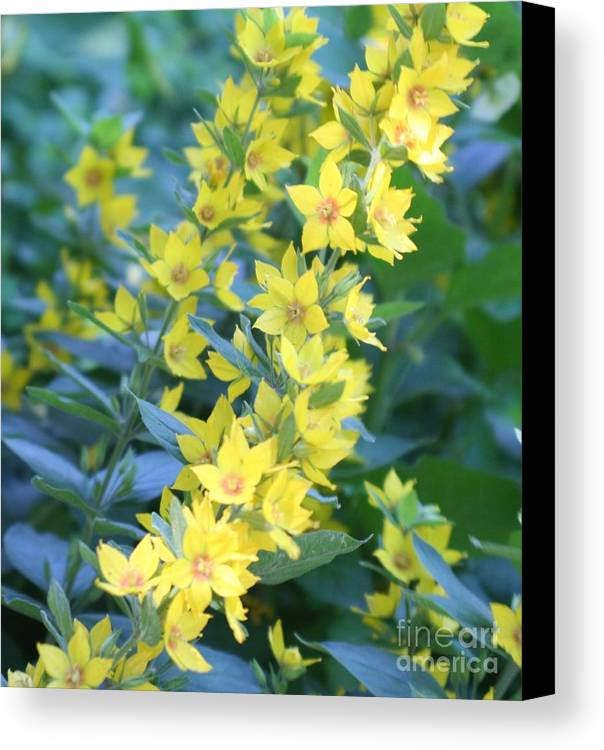 Yellow Canvas Print featuring the photograph Burst Of Yellow by Amy Holmes