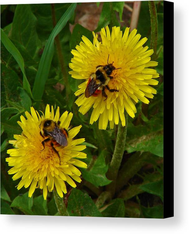 Dandelion Canvas Print featuring the photograph Dandelions And Bees by Heather Coen