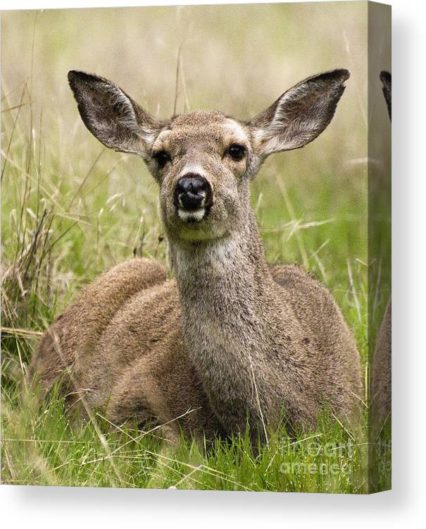 California Scenes Canvas Print featuring the photograph Doe Eyes by Norman Andrus