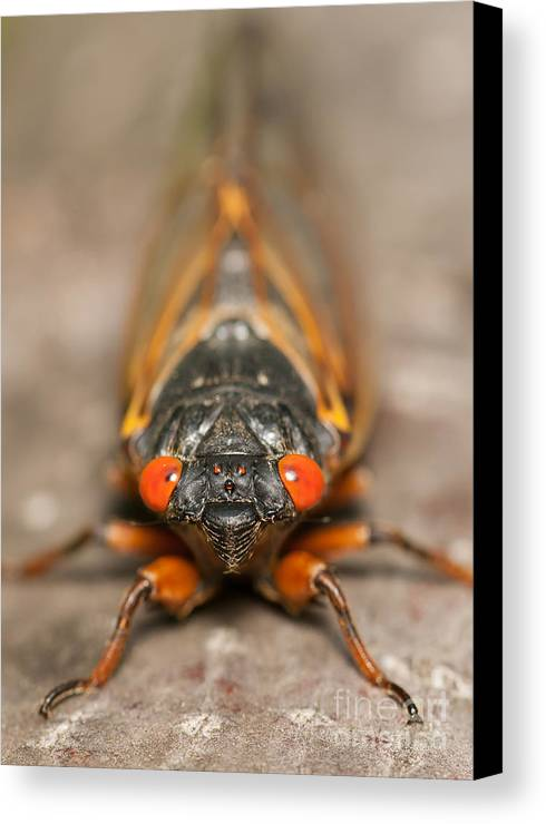 Clarence Holmes Canvas Print featuring the photograph 17-year Periodical Cicada IIi by Clarence Holmes
