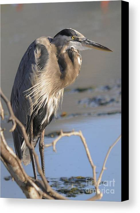 Heron Canvas Print featuring the photograph Heron by Marc Bittan