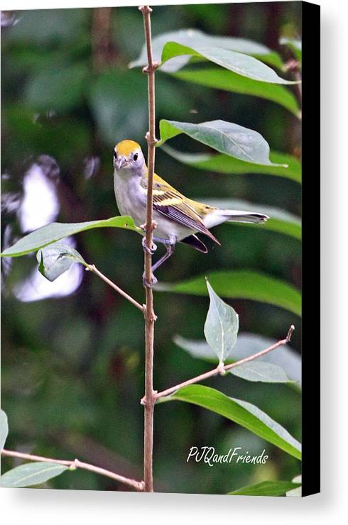 Chestnut-sided Warbler Canvas Print featuring the photograph Chestnut-sided Warbler by PJQandFriends Photography