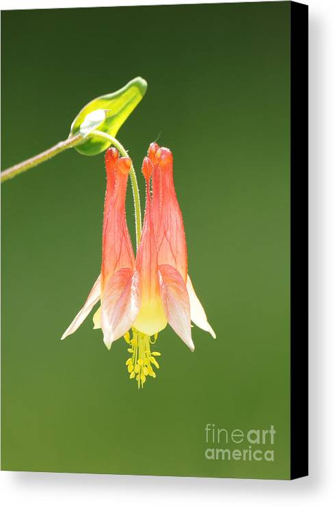 Columbine Flower In Sunlight Canvas Print featuring the photograph Columbine Flower In Sunlight by Robert E Alter Reflections of Infinity